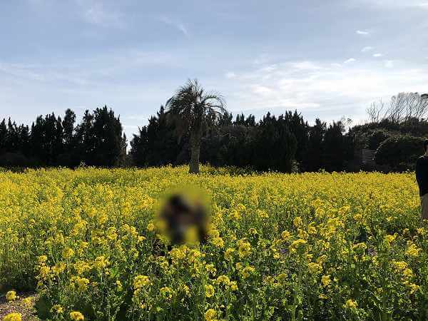 田原市渥美半島菜の花まつり