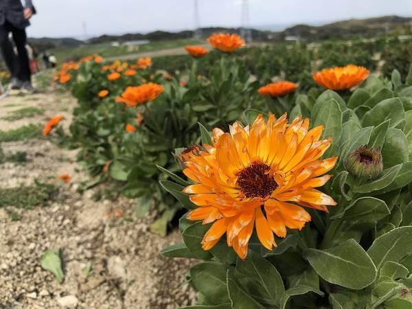 南知多の花ひろばは菜の花が咲き頃